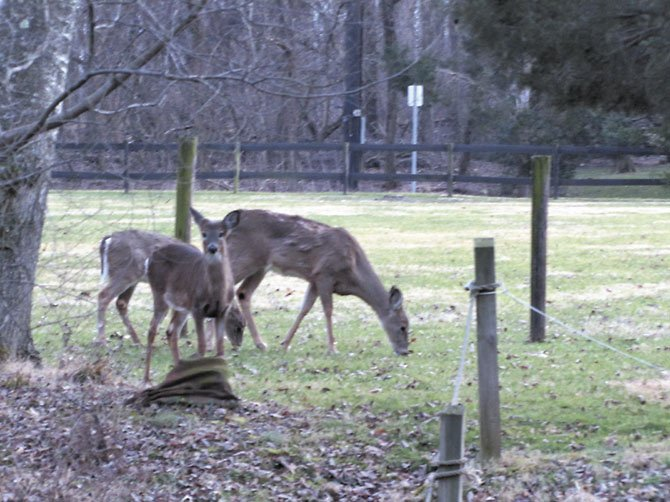 Deer find much to eat in Potomac neighborhoods.