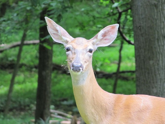 Jane Doe: Many deer pass through our yard every day. One doe has successfully raised triplets many years, with twins other times.