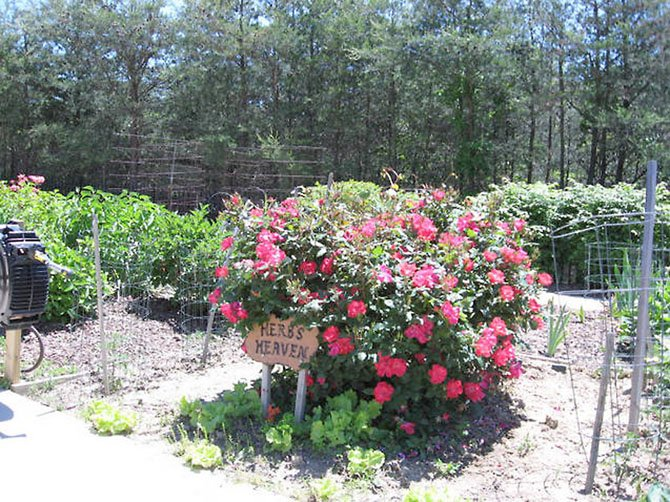 Herbs Heaven included bright pink flowers last year at Greenspring retirement community in Springfield.