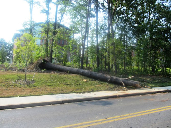 A 40-foot tree, uprooted by the storm, lands on a sidewalk at George Mason University on Saturday, June 30. 