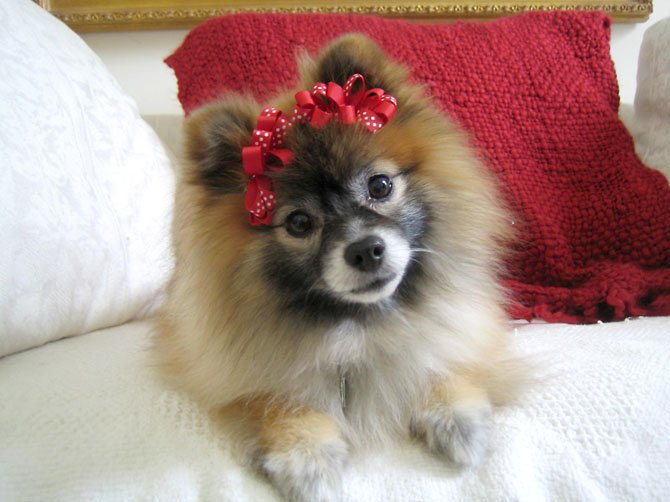 "Maggie the Pomeranian at Christmas time. All the dogs loved to dress up on the holidays. ""We take them to the annual Pom Play Group Halloween party every year,"" Kirsten Porter, of Herndon, said."