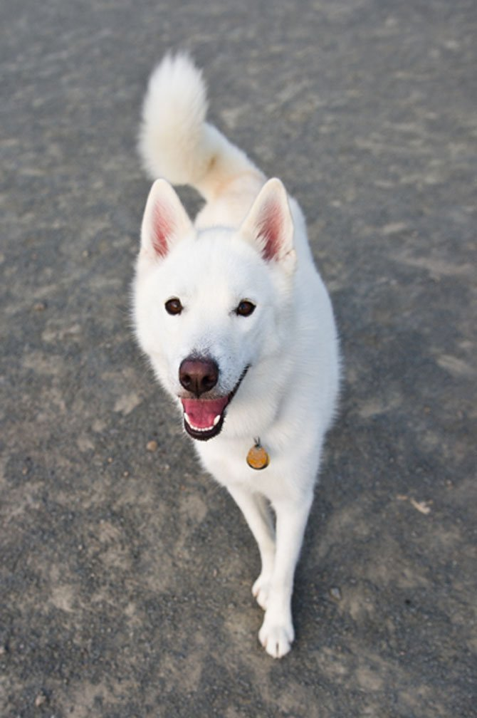 Gallery For > White Husky With Brown Eyes