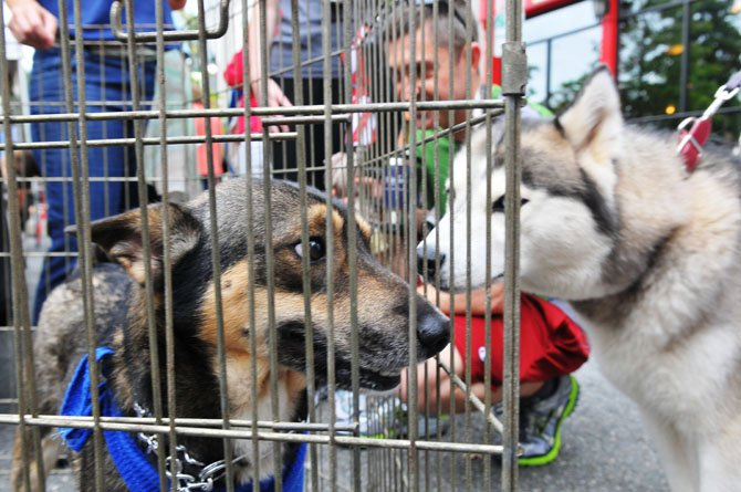 Bourbon, a puppy being cared for by the Virginia German Shepherd Rescue checks out the passing canines at the street fair.