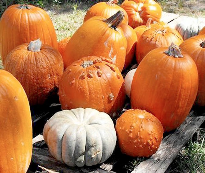 Heather Hill Gardens in Fairfax Station has pumpkins in all colors, shapes and sizes during their annual Pumpkin Patch.