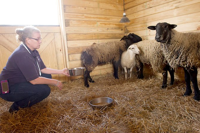 Four sheep found wandering in Virginia Run on April 13 are waiting at the Fairfax County Animal Shelter for their owners to step forward. Shelter employee Lea Ann Gross offers some feed to the sheep.