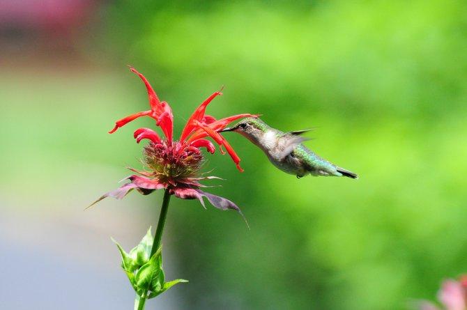 Spotting a Hummingbird in Great Falls