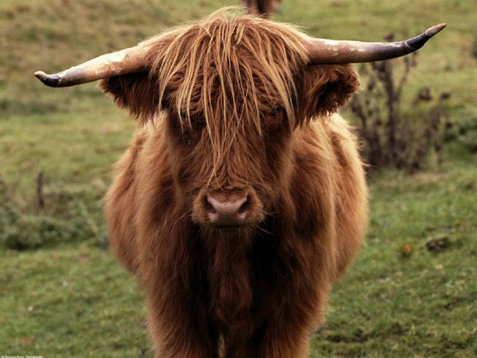 A Scottish Highland cow.