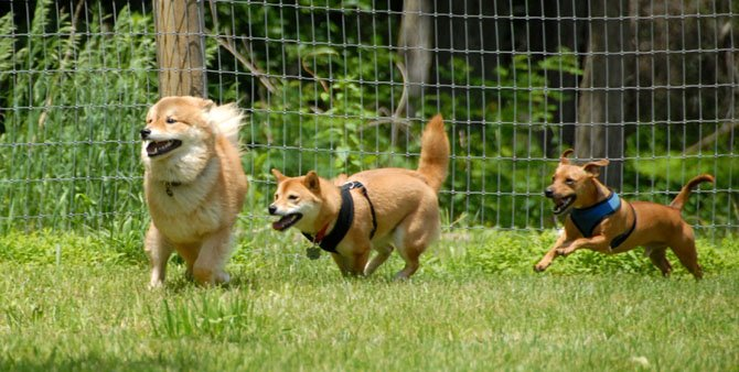 Ingrid Anderson's dog Bodi (right) plays with other dogs at the Vienna Dog Park.