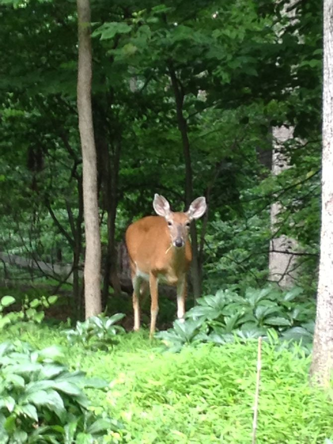 A deer browses under some of Potomac's lush tree canopy. Two new laws would help protect Montgomery County's tree.