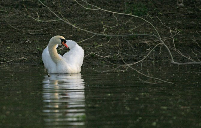 """""""Mute Swan"""" by Walt Lawrence"""