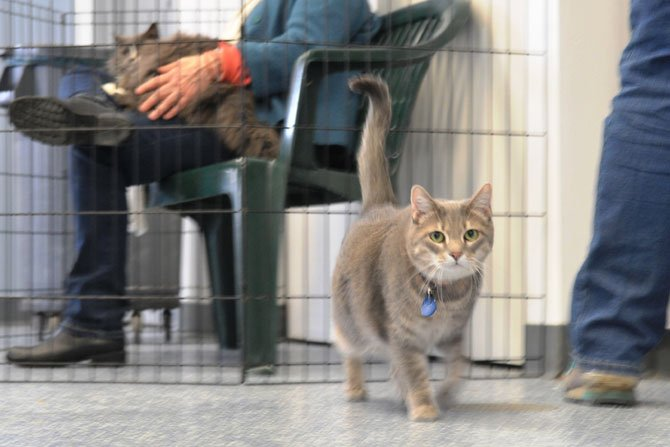Muneca, the grey tabby, walks the floor of a visitors room on a recent Saturday afternoon.