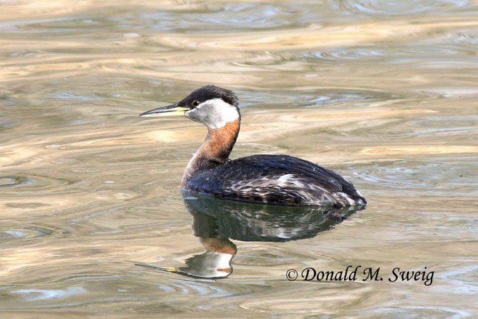 A Red-necked Grebe, remarkable in breeding plumage, photographed in the Potomac River at Riley's Lock on Saturday, March 8.