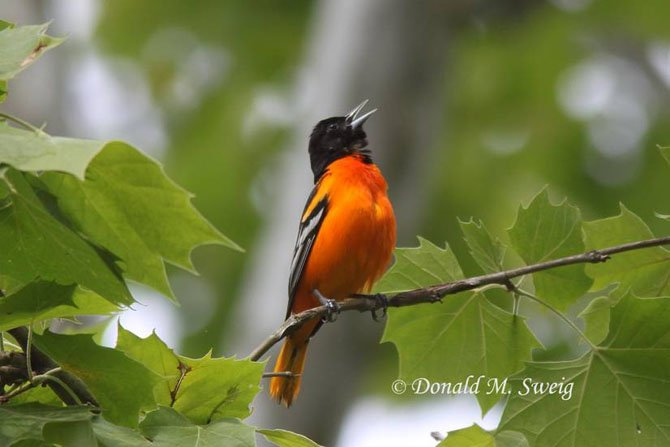 A male Baltimore Oriole, the state bird of Maryland.