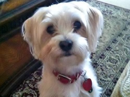 Oscar, a nine-pound Morkie terrier, died in early April after being attacked by a pit bull.