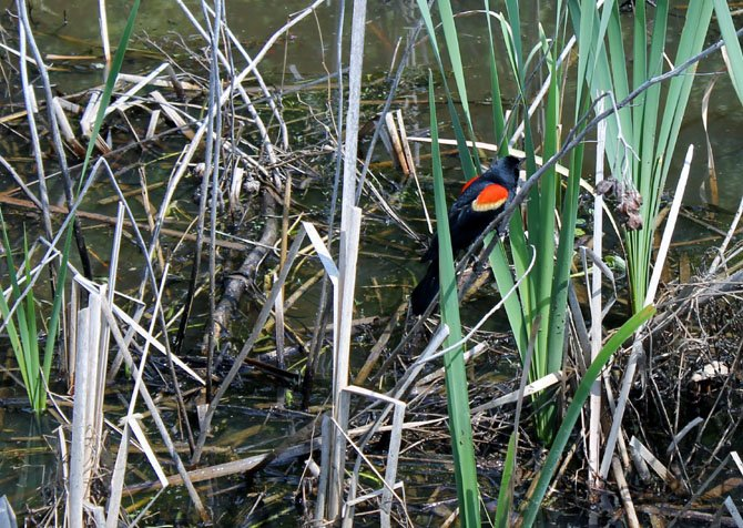 Visitors to Huntley Meadows Park can find a variety of wildlife, including birds like this one, when walking on the park's boardwalk.