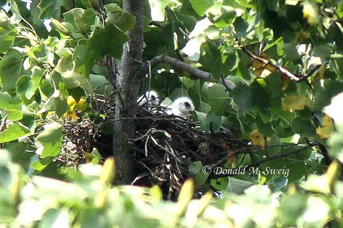 Two Mississippi Kite chicks in a nest high in a tree in Burke. Mississippi Kites are rare in Northern Virginia.