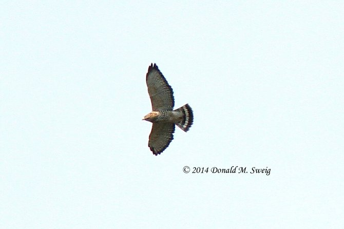 Adult Broad-winged hawk over Great Falls. Notice the wide, white band in the tail and the black edge at the back of the wing. The annual migration of Broad-winged Hawks passes through our area approximately Sept. 12-22.