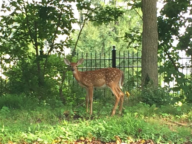 A high density of deer is seen as an ongoing threat to biodiversity and road safety throughout the Fairfax County.
