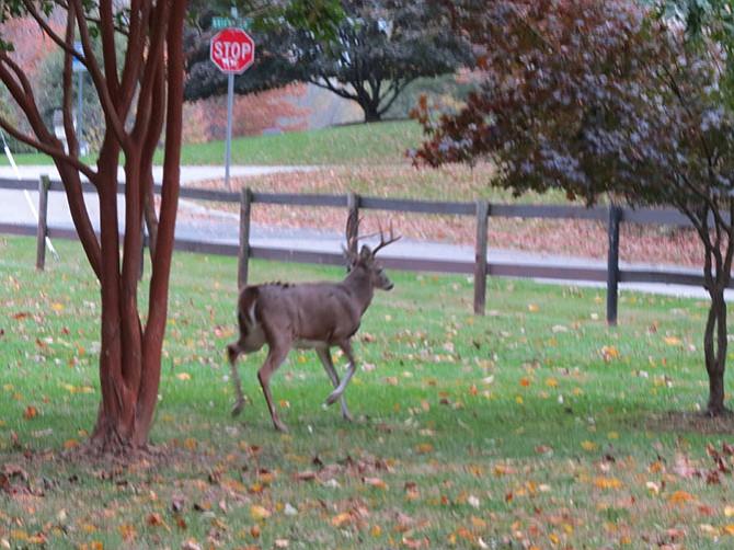 A buck heads toward Brickyard Road, pursuing a doe.