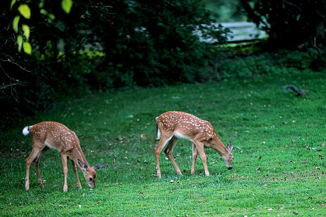 One reason the deer population is out of control is that most does give birth to twins, and sometimes triplets, every year from the time they are one year of age for as many as 10 years. This pair was photographed in Great Falls in the Spring.