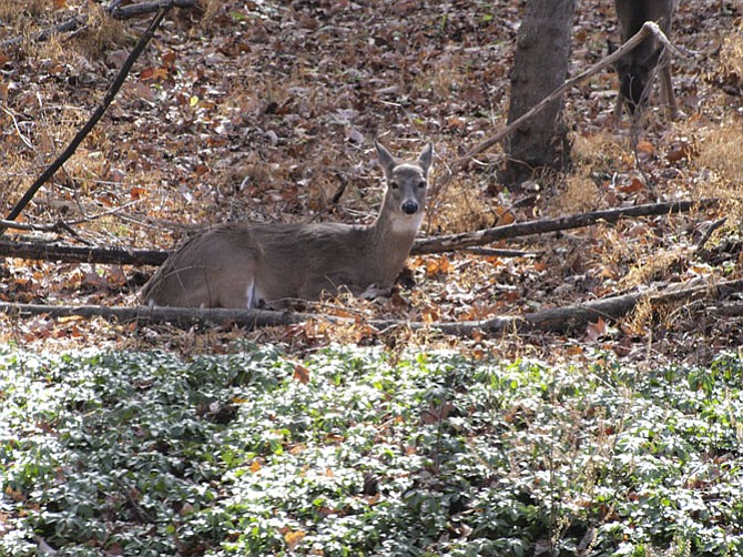 A deer resting in the woods.