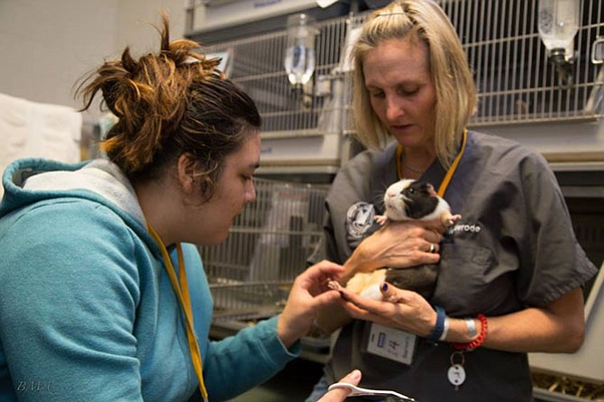 Karen Nestlerode of Alexandria grooms a guinea pig while volunteering at the Fairfax County Animal Shelter.