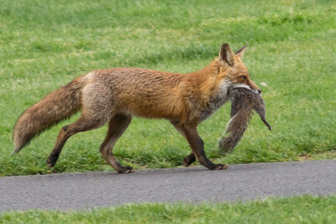 A red fox carries a meal of a squirrel at Reston National Golf Course.