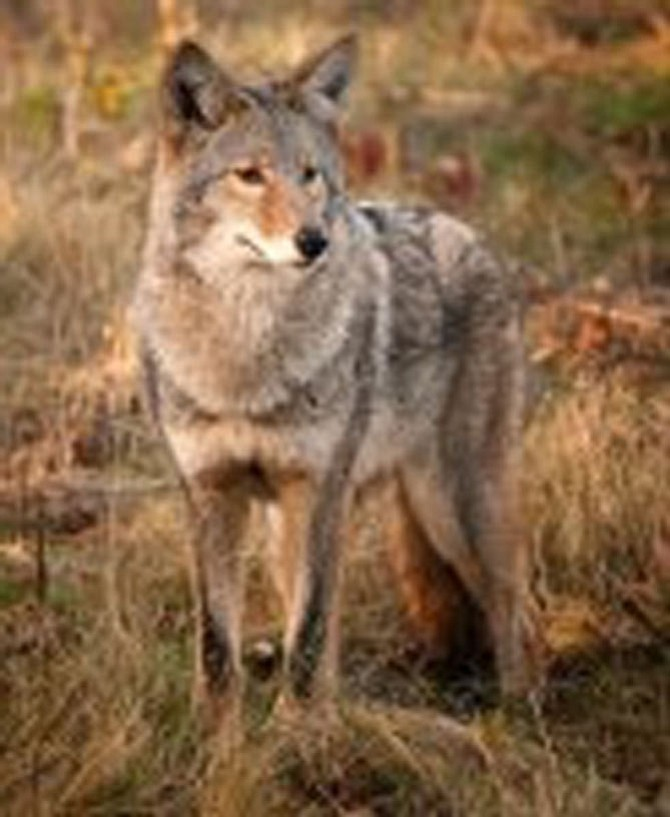 Coyotes are territorial foragers that can prey on small animals but will readily eat fruits or vegetables.
