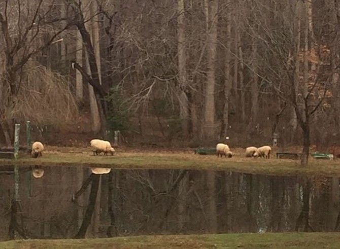 Several of David Kondner's seven sheep graze next to his pond. His property includes a barn with stalls, a pond and fencing around the entire five acres.