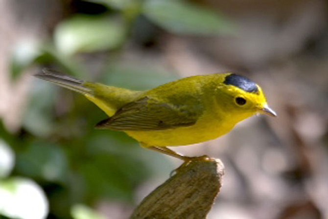 This Wilson's warbler is one of more than 20 species of warblers who use Monticello as a stopping point on their migration from South America. They are attracted to the small park in an urban area because of the stream running through the park, the protective cover and the availability of food.