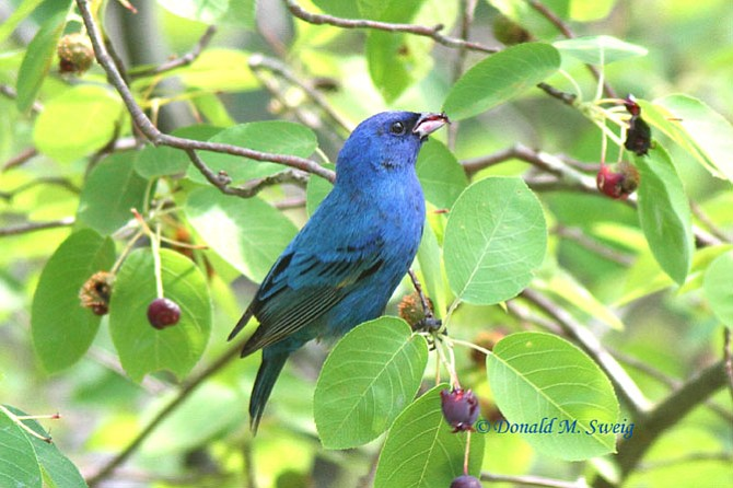 Bright-blue Indigo buntings can be seen in both National Parks at Great Falls.
