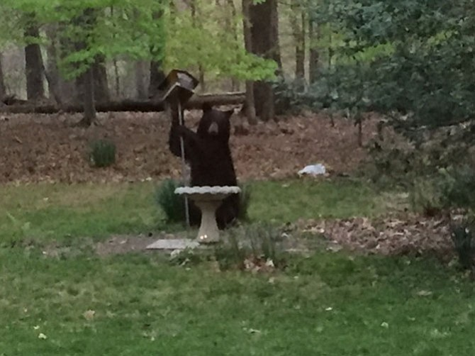 A black bear shakes a bird feeder in Doug Harbrecht's backyard in Great Falls.