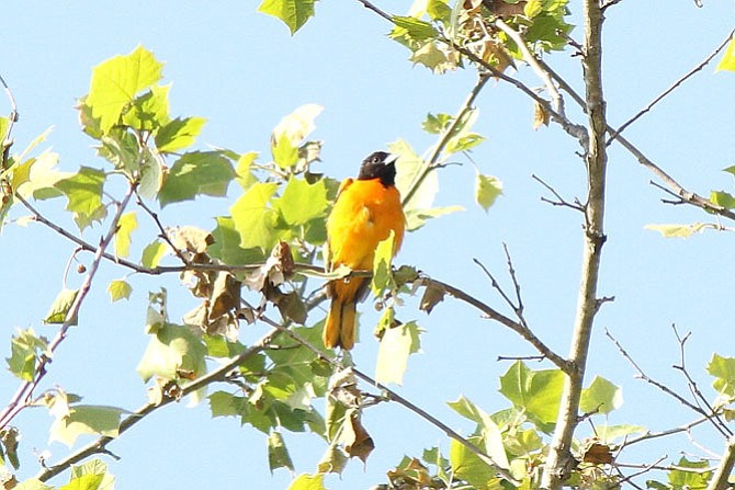 An oriole on the top of a tree in the C&O Canal National Historical Park at Great Falls.