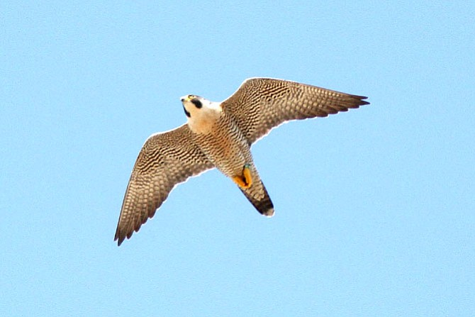 The male peregrine in the air in Reston: The falcons may remain in the Reston area for a short period of time, but after that will probably fly off to other locations in Virginia or elsewhere.  It is possible that the adult falcons will return to the Reston area to nest in 2017.