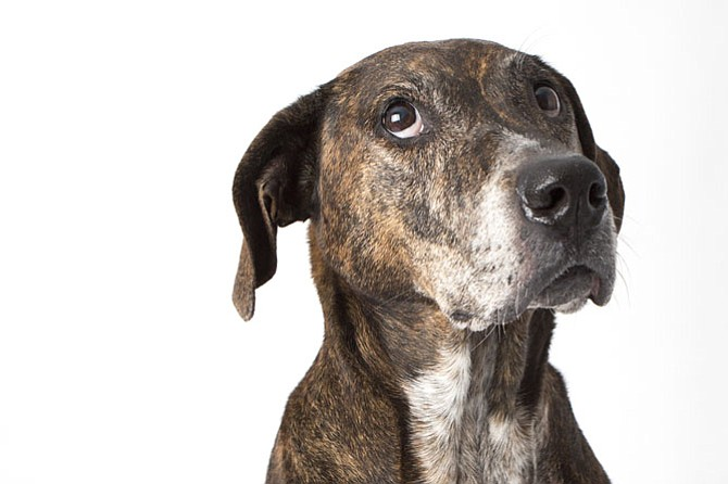 Ginger McNair: Age 11, Plott Hound/Boxer Mix, Reston.  One of Ginger's best adventures was getting to play with a wild fawn who wandered into his yard. Fast thinking dad, Doug McNair, captured their exchange on video. https://www.youtube.com/watch?v=18VAGzOL8sk