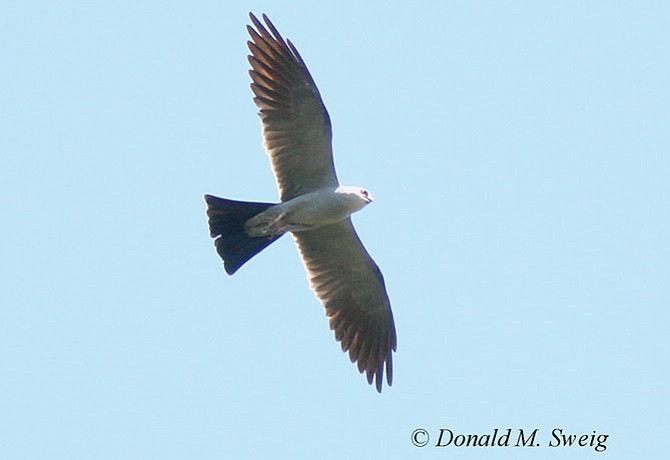 Adult Mississippi Kite soaring over 17th and Taylor in north Arlington on Aug. 12.