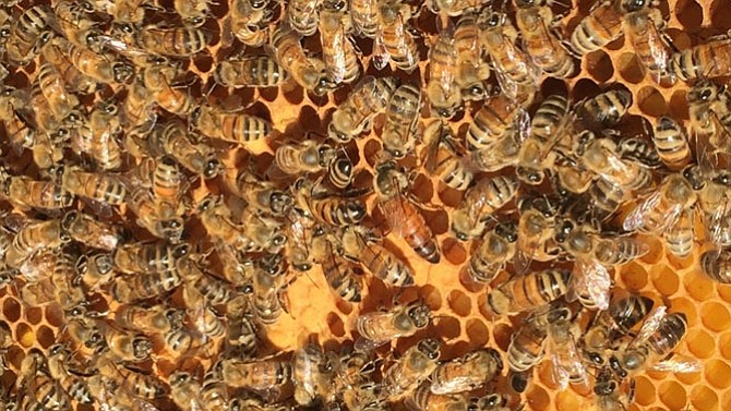 A queen bee, pictured in the center, is surrounded by worker bees on a frame of brood. The closed cells that look like browned biscuits are filled with developing bees, not honey.