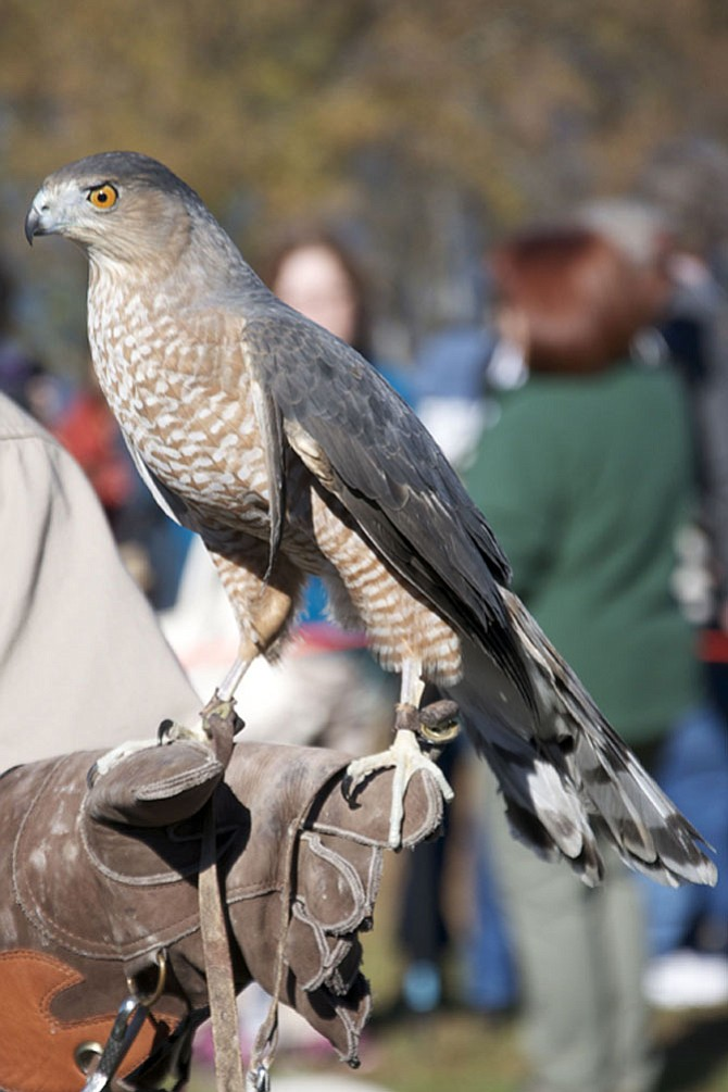 Maxwell, a Cooper's Hawk with an injured wing