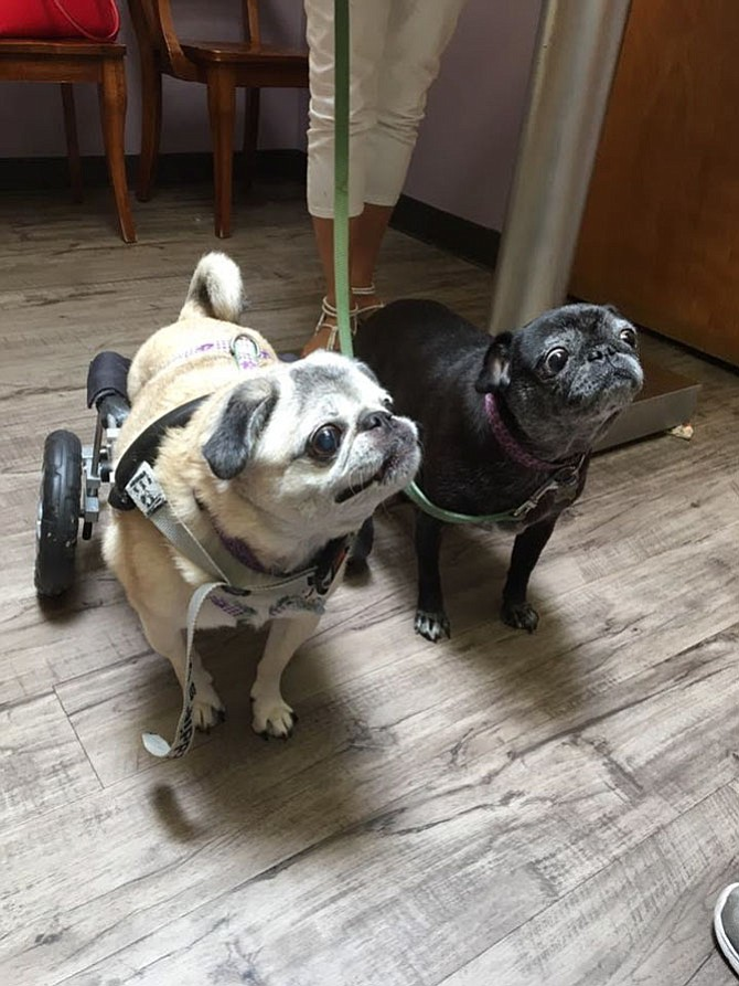 Pugsley (left) is 13 years old and Lola (right) is 11 years old. They are best friends who love cuddling, watching TV, eating anything and relaxing on the deck during the fall. Pugsley is pictured in her wheelchair because she has a back disease that causes her back legs to become paralyzed — although, this doesn't stop her! These two are the best additions to our family. — The Tobins, Springfield