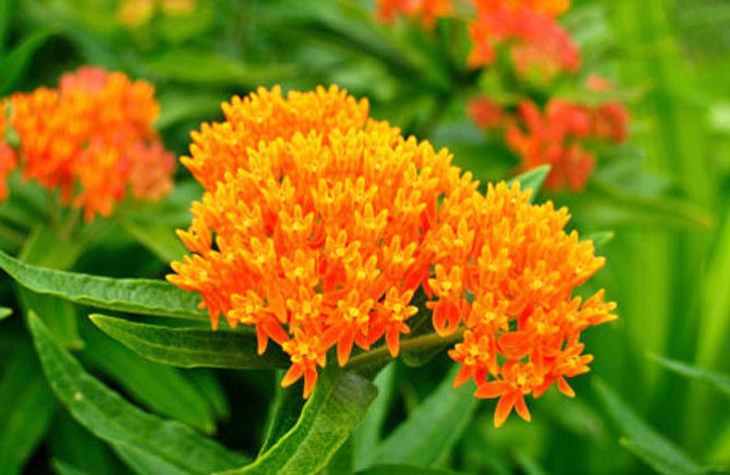 The butterfly weed