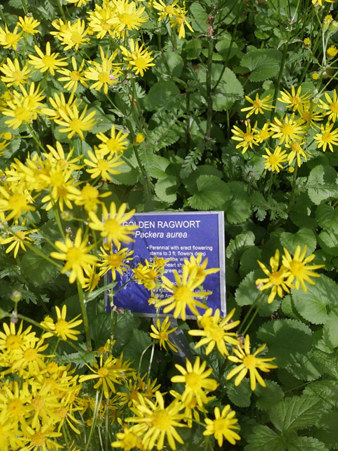 Native plants from Gulf Branch Regional Park Native Plant Garden include Golden Ragwort.