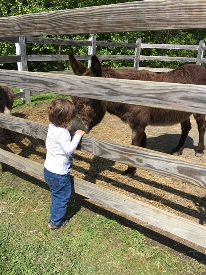 Samuel Fisher, 2, pets Gabriel, one of two donkeys at Potomac Horse Center. The Horse Center held its annual open house on Sunday.