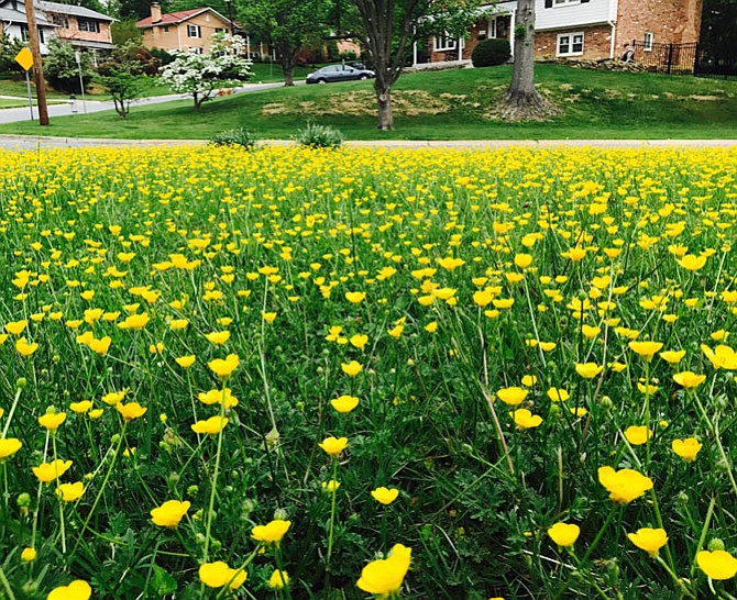 My mom, Selva Ekrek, has lived in Potomac for 47 years. Every spring, her front lawn transforms into a field of yellow buttercups and she asks her landscapers not to mow them down so everyone can enjoy them for a few brief weeks of glory. People driving by always stop and take photos. She's the Buttercup Lady of the neighborhood.
