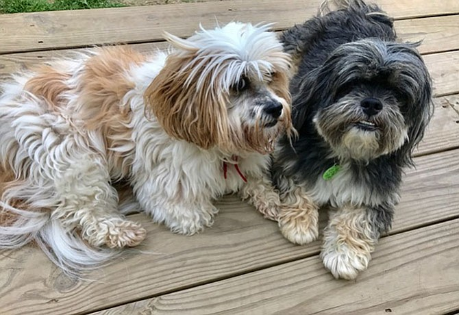 Senior Dogs, Brownie and Cocoa, are looking for their forever home.