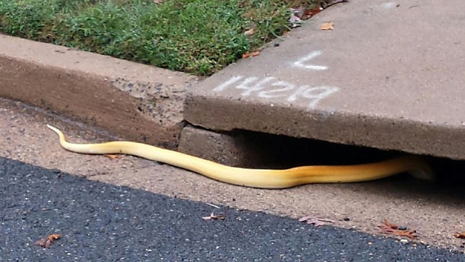 Six-foot long albino python slipping into the Arlington sewers.