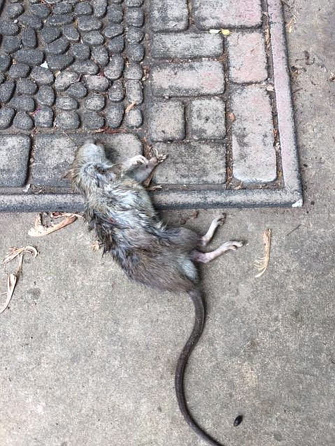Dead rat on an Old Town street