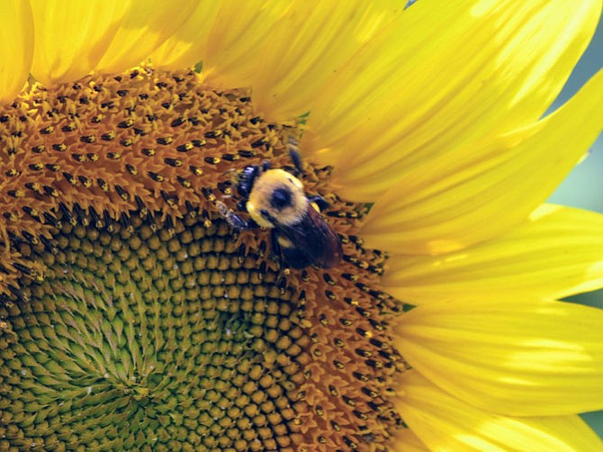 Some fields of sunflowers will be in peak bloom by July 22-23, while others will peak by July 29-30. Three of the fields are right along River Road.