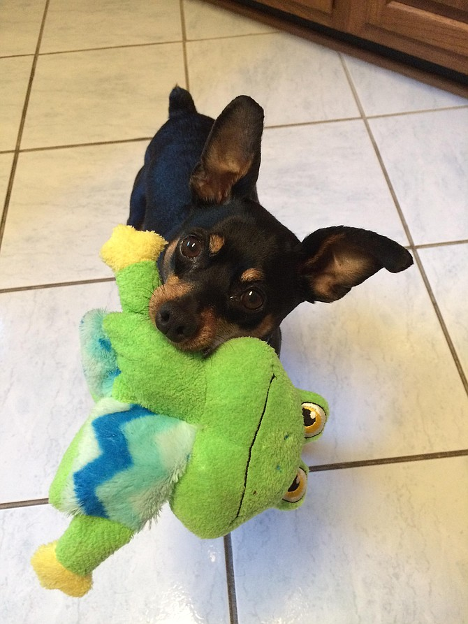 Jax, our 8-year-old Miniature Pinscher, is playing with his birthday froggy, which is one of his favorite toys. — Mary and Laszlo Balazs