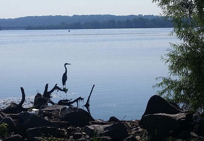 Blue heron at Founders Park.