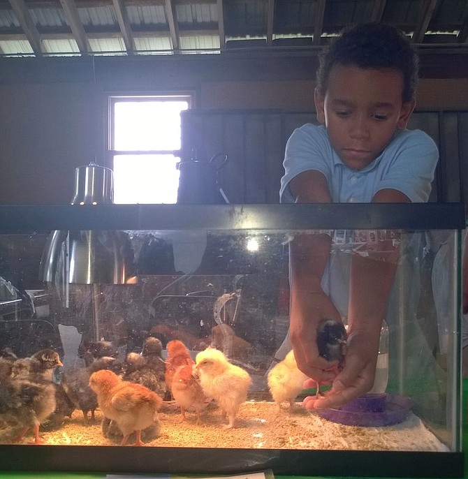 "Liam Sloan, 8, of Arlington, gently picks up a Barred Rock peep to help visitors get a closer look of the baby chick display Aug. 6 at Frying Pan Park. His mom participated in the club as a kid and claims her 4-H buddies have become doctors, lawyers, veterinarians. She says 4-H teaches kids ""they can change the world."""